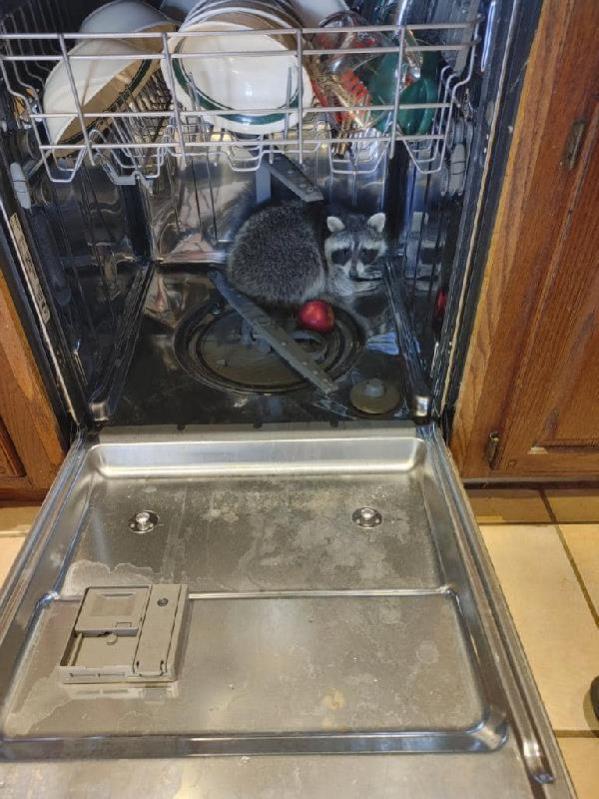 ABD'de eve giren rakun, bulaşık makinesinde uyurken yakalandı