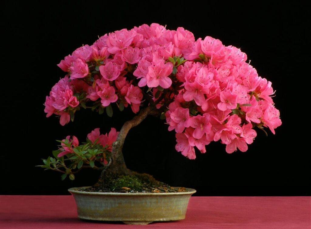 Bonsai Ağacı Bakımı